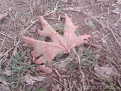 Dead Dried Maple Leaf On Ground - Brown dried maple leaf on ground in autumn. Photo taken on: October 12th, 2014