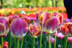 The big flowers of Crispa Tulips Miami Sunset have a breathtaking play of color, like a tropical sunset. Buy wholesale Tulip Flower Bulbs Miami Sunset at DutchGrown for this Fall delivery. Flower Bulbs from Holland at Bulk pricing.