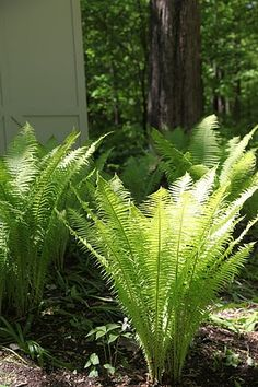 ostrich ferns I have a few of these beauties