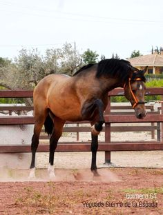Quimero GT Andalusian Horse, Sierra, Animals Beautiful, Creatures, Horses, Horse Stuff, Dogs, Pearl, Fancy