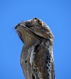 Foto mãe-da-lua (Nyctibius griseus) por Wilson Sousa | Wiki Aves - A Enciclopédia das Aves do Brasil