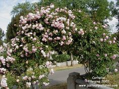 Cornelia rose bush - Google Search