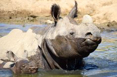 #DidYouKnow Unicorns exist! The scientific name for the greater one-horned rhino is Rhinoceros unicornis.
