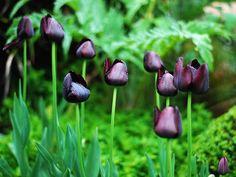 black tulips (goth flowers)