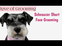 Everything About Smart Miniature Schnauzer Dogs Grooming Schnauzer Cut, Schnauzer Grooming, Miniature Schnauzer Puppies, Dog Grooming, Standard Schnauzer, Miniature Schnauzer Black, Puppy Cut, Eyebrows, Dog Hotel