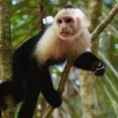 Cinnamon faced capuchin monkey, I want one
