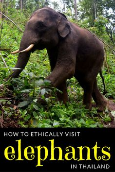 Interacting with elephants in Thailand is a magical and unforgettable experience--make sure that your elephant experience is as ethical as possible.