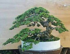 Taking care of a bonsai tree for the first time can become a nerve-wracking experience, especially if you don't know how to maintain your miniature tree properly. Bonsai Tree Care, Bonsai Tree Types, Indoor Bonsai Tree, Bonsai Art, Bonsai Plants, Pine Bonsai, Bonsai Styles, Miniature Trees, Flowering Shrubs