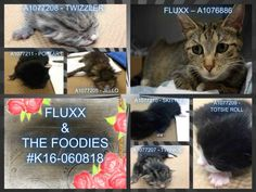 BROOKLYN CENTER  *MUST BE PULLED BY A NEW HOPE RESCUE*  FLUXX – A1076886  (Kittens born in shelter)  FEMALE, BRN TABBY, DOMESTIC SH MIX,1 yr STRAY – STRAY WAIT, NO HOLD Reason STRAY Intake condition PREGNANT Intake Date 06/09/2016, From NY 11203, DueOut Date06/12/2016, I came in with Group/Litter #K16-060818.  Medical Behavior Evaluation BLUE Medical Summary Scanned negative BARH- tolerated all handling; tense during exam. Intact female Approx 1 yr old Eyes, ears and nose- clean and clear…