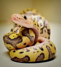 Such a beautiful ball python! Pretty Snakes, Cool Snakes, Beautiful Snakes, Les Reptiles, Cute Reptiles, Reptiles And Amphibians, Python Royal, Beautiful Creatures, Animals Beautiful
