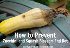 Problems In Growing Tomatoes How to Prevent Zucchini and Squash Blossom End Rot Blossom end rot happens for pretty much one reason: a calcium deficiency. Squash prefer a pH level between to - REINFORCE YOUR BONES Growing Squash, Growing Zucchini, Growing Tomatoes, Growing Vegetables, Pumpkin Growing, Green Tomatoes, How To Grow Squash, How To Grow Zucchini, Veg Garden