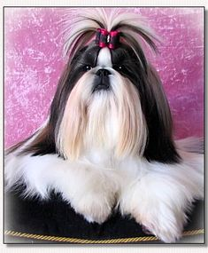 "Shih Tzu-Elite Top Model du Golden Palace ""Candy"""
