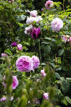 Hvilken rose har den bedste duft? Hvilken blomstrer i længst tid? Og hvordan undgår man bladlus? Bliv klogere på havens roser lige her. Garden Inspiration, Planters, Backyard, Outdoor, Indoor Gardening, Roses, Bible, Gardens, Flower
