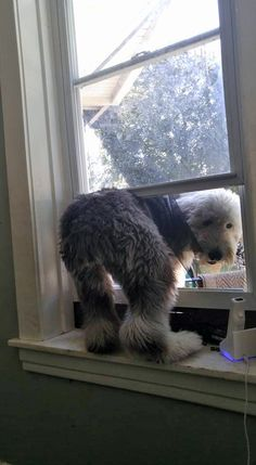 cutest rascal 2015-08-22 Noeli Valentin's sheepdog on FB tries to break out window screen! ; ) • imagine such a big monsterlein on window sill haha!! some damn cute skills Eleanor! : ) • original post: https://www.facebook.com/groups/2241620353/permalink/10156042800295354
