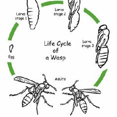 First Grade Animals Life Science Worksheets: Color the Life Cycle: Wasp Science Worksheets, Science Activities For Kids, Science Lessons, Teaching Science, Student Learning, Coloring Worksheets, Sequencing Activities, Life Science, Art Lessons