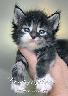 Please.... I want a kitty!  This one is adorable.
