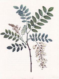 acacia thornwood