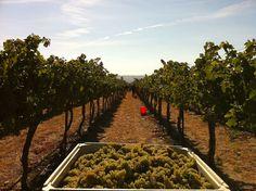 Yield (wine) - Wikipedia