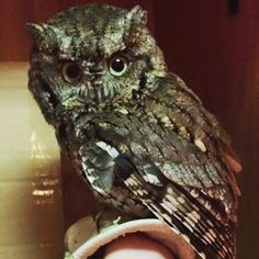 This Eastern Screech #Owl came to The #Alabama #Wildlife Center after being hit by a car. Luckily he's tough and spirited and is already making a speedy recovery! Keep up the good work little dude!  Open 365 days a year with free admission the #Alabama Wildlife Center is the state's oldest and largest #wildlife rehabilitation and #education facility a champion for native #birds since 1977. We receive almost 2000 avian patients annually. Visit us online at awrc.org or at beautiful…