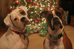 The Daily Boxer Babies! http://dailyboxer.com/ #boxers