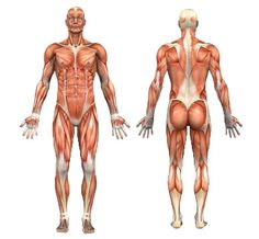 Illustration of the the best exercises for each muscle group  http://www.askthetrainer.com/exercise-information/