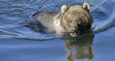 Grizzly Bears Spotted Swimming Are Seen as a Potentially Serious Problem http://www.wideopenspaces.com/grizzly-bears-spotted-swimming-seen-potentially-serious-problem/
