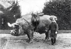 Pig rider, ca. Tame animals of Mr Wingfield Ampthill child beside a saddled pig. Vintage Pictures, Old Pictures, Old Photos, Random Pictures, Vintage Humor, Weird Vintage, Vintage Kids, Vintage Circus, Vintage Black