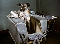 This is Laika, the first animal ever to be sent up into orbit. She was a Moscow stray before she was a Cosmonaut. Nobody expected her to survive the trip, and she didn't. There's now a monument erected to her in Moscow, of a dog standing on a rocket. Spitz Dogs, Major Tom, Dog Facts, Space Race, Space Exploration, Animal Rescue, Urban, Marvel, Astronomy