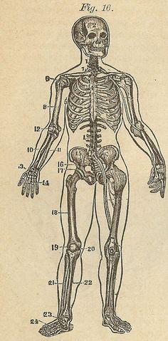 Vintage Clip Art Skeleton