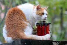 Lantern Cat