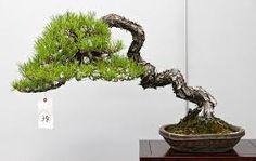 Resultado de imagen párr shohin bonsai japón