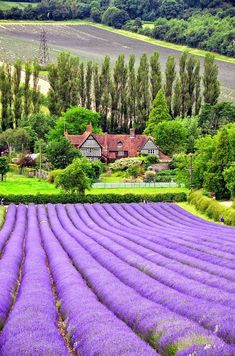 Lavender Fields --I want to touch those boofs of lavender flowers, they look so soft