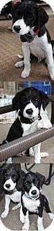 Chantilly, VA - Border Collie Mix. Meet Collin, a puppy for adoption. http://www.adoptapet.com/pet/11705944-chantilly-virginia-border-collie-mix