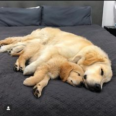 Golden Retriever mix breeds are the most saught after breeds of 🐶. Find out which Golden Retriever mix is perfect ❤️ for you with 41 mix breed PICTURES. Cute Puppies, Cute Dogs, Dogs And Puppies, Doggies, Chien Golden Retriever, Golden Retrievers, Beautiful Dogs, Animals Beautiful, Baby Animals