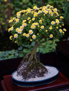 Bonsai Chrysanthemum - Bonsai not just for trees