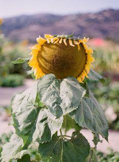 shy sunflower