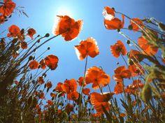 Poppies by Laurent Pinsard
