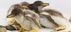 Trio of New Baby Gentoo Penguins at the Tennessee Aquarium | Tennessee Aquarium