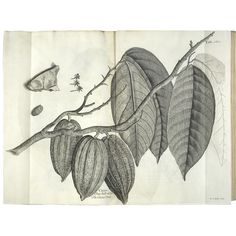The cacao tree (from Hans Sloane's Natural History of Jamaica)