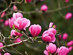Магнолия в цвету  Magnolia