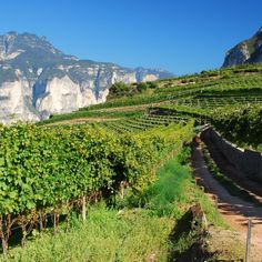 From sparklers to 'vino santo,' here's a look at the wines of Trentino-Alto Adige. South Tyrol, Wine Sauce, Sauvignon Blanc, Italian Dishes, Sparklers, Wines, Saints, Italian Side Dishes, Italian Meals