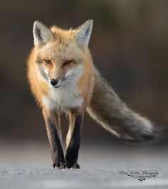 Red fox  #fox #animal #animalelite #exclusive_wildlife #gettheshot #iamgenerationimage  #igscwildlife #fox #natgeo #outdoorphotomag #master_shots #nature_perfection #nikon #nikonnofilter #wildlifephotography  #world_bestanimal #splendid_animals #waycoolshots  #nature_brilliance #wildlife_seekers  #animals #wildplanet  #natureaddictsun #wildlife_perfection #wildlife_seekers #instafollow #animallovers #waycoolshots #exclusive_shots #redfox #wildlifeplanet