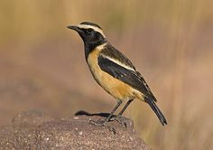 Buff-streaked Chat, Lesotho, South Africa & Swaziland