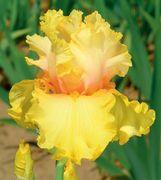 Schreiner's Iris Gardens features world-class Iris for your garden. Growing, breeding, and selling Tall Bearded Iris, Beardless Iris, Dwarf...