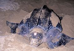 13 Big animals that may be extinct very soon: Can they be saved? The Pacific Leatherback Turtle has greatly declined over the last 2 decades. There are approximately 2300 females remaining making them the most endangered marine turtle. Big Animals, Animal Faces, Leatherback Turtle, Green Turtle, Tortoises, Romantic Getaways, Natural Phenomena, Reptiles, Wildlife