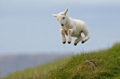 Baby lamb jump - this is how I felt today - very productive day at work!