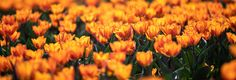 tulips in Holland by Ilse Cardoen