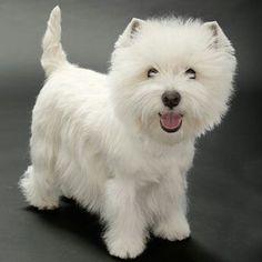 Bist du ein wuschelig süßer West Highland Terrier (Westie)! Hab dich so lieb! ❤