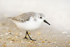 Sanderling.Spotted about 15 of these for the first time today on Whitley Bay beach by me with a similar number of turnstones.