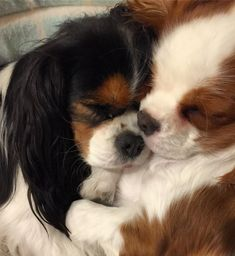 Some of the things I admire about the Cavalier King Charles Spaniel Pup King Charles Puppy, Cavalier King Charles Dog, Beautiful Dogs, Animals Beautiful, Cute Puppies, Cute Dogs, Cavalier King Spaniel, Sweet Dogs, Spaniel Puppies